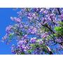 Árbol Jacaranda Mimosifolia En Terron 2.40mts, Ezeiza-envíos
