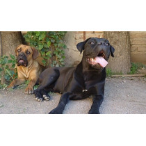 Cachorros Cane Corso