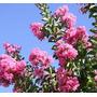 Crespón Arbusto, Lagerstroemia, 10lts, Plantas De Exterior