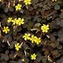 Oxalis Vulcanicola (trebol Morado) B18 Planta Colgante.