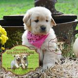 Cachorras Golden Retriever Puras - Criadero Golden Paradise