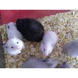 Hamsters Sirios Angora O Pelo Corto Varios Colores.