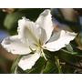 Semillas: Árbol De Orquídeas Blancas - Ornamental Medicinal