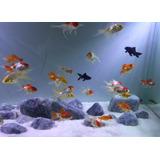 Pez Carrasuis - Gold Fish