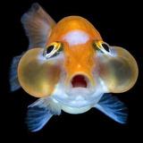 Goldfish Carassius Ojos De Burbuja  Agua Fria 3,5cm