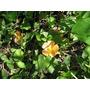 Modiolastrum Lateritium - Planta Rastrera Nativa Bs As