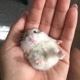 Hamster+alimento+aserrín