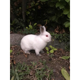 Conejos Enanos Netherland Dwarf