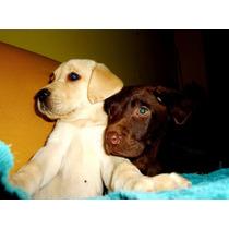 Cachorros Labradores Hermosos Y Puros C/papeles Fca.