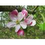 Árbol De Crab Apple: La Flor Limpiadora De Bach!!!