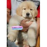 Golden Retriever Cachorros 100% Puros +kit De Llegada A Casa