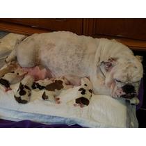Cachorros Bulldog Ingles !!!! Excelete Linea De Sangre
