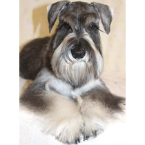 Schnauzer Mini Cachorra Sal Y Pimienta Entrga Inmediata