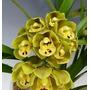 Orquídeacymbidium Sunshine Falls Butterfallc/vara Formandose