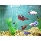 Peces Bettas Hembra Splendens * Acuario Tropical *