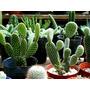 Cactus Medianos Variedad