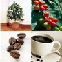 Plantines De Cafeto Cafe Frutales Exoticos D Maceta Organico