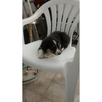 Vendo Perra Border Collie De Casi 2 Meses!