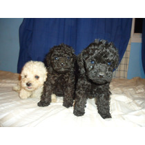 Hermosos Cacniches Mini Toy , Blancos Y Negros.