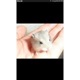 Hamsters Sirios Topo Ruso Bb De 35 A 50 Dias