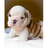 Cachorros Bulldog Ingles!!