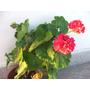 Planta De Malvón Fucsia - Muy Linda, Color Vibrante Y Alegre
