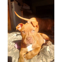 Cachorros Pit Bull Red Nose Ultimo Disponible Macho