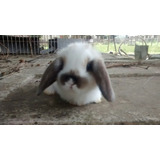 Conejos Mascota Holland Lop