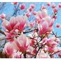 Lamina - Magnolias - 65 X 60 Cm. Laminas Flores Modernas