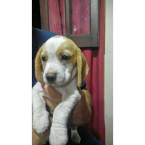Beagle Hermosa Cachorra