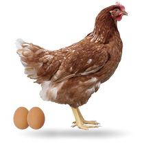 Pollas Ponedoras Coloradas Desde 25 Días Gallinas