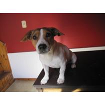 Jack Russell Terrier Para Servicio En Mendoza