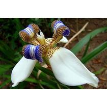 Orquideas De Tierra Neomarica Candida En Epoca De Floracion