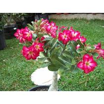 Adenium Obesum Planta Rosa Del Desierto