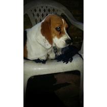Vendo Hermosa Cachorra De 1 Año.....tricolor..bien Cuidada