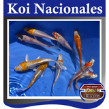 Carpas Koi Nacionales 8-10 Cm Estanques Lagunas