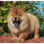 Chow Chow, Hembras Fca. (inmejorable Calidad)