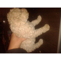 Perros Caniche Toy