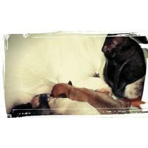 Bulldog Frances Machos Fawn , Red Fawn Y Hembras Atigradas