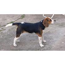 Cachorra Beagle 13 9 Meses Con Papeles Fca