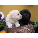 Cachorros Labradores Negros , Arena