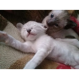 Hermoso Gatito Siames