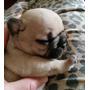 Bebes Bulldog Frances En Puerto Madryn