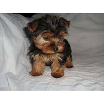 Yorkshire Terrier Mini Mi Ni