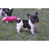 Cachorra Bulldog Frances Hembra