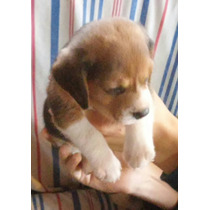 Hermosa Cachorra Beagle Tricolor Lista Para Entregar
