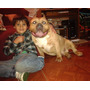 American Bully Cachorra .no Pitbull No Bull Dog