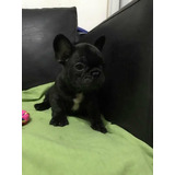 Cachorros Bulldog Frances Macho Negros Atigrados