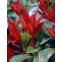 Photinia Fraseri 4 Lts Plantas Cerco Puerto Jardin Envios