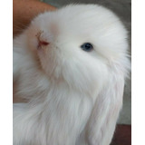 Conejitos Holland Lop